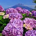 紫陽花のみち
