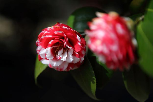 Photos: 笠松