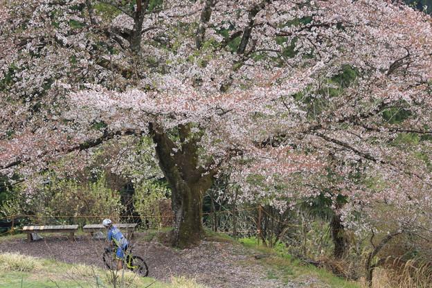 山の一本桜1
