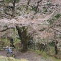 Photos: 山の一本桜1