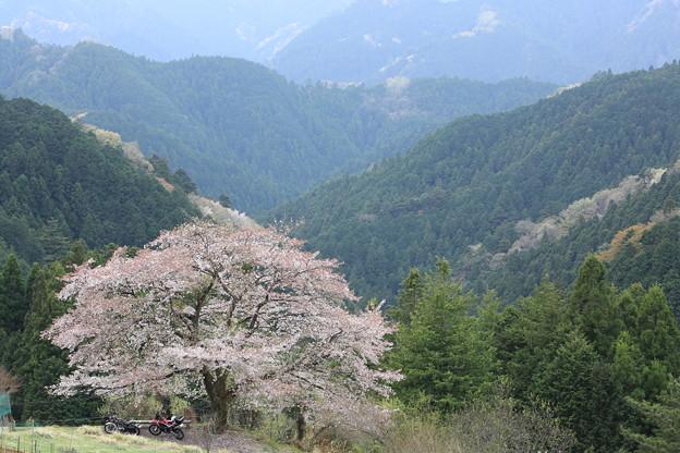 山の一本桜2