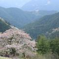 Photos: 山の一本桜2