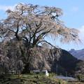Photos: 里山に咲く一本桜