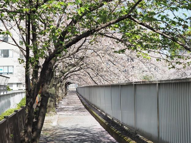 仙台堀川桜並木その2