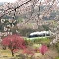 桜花の上越 5カット