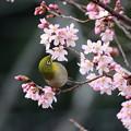 小彼岸桜とメジロ(1)FK3A4853