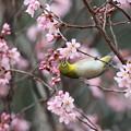 小彼岸桜とメジロ(2)FK3A4825