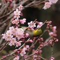 小彼岸桜とメジロ(3)FK3A4876