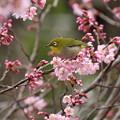 小彼岸桜とメジロ(4)FK3A4902