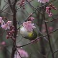 小彼岸桜とメジロ(5)FK3A4833