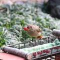 1.お庭に戻って来た日のジョウビタキ♀ FK3A8898