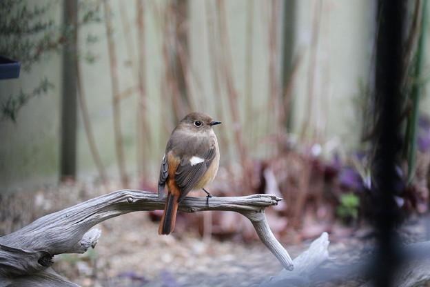 2.お庭に戻って来た頃のジョウビタキ♀ FK3A9592