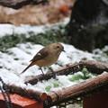 5.雪中で採餌するジョウビタキ♀ FK3A0642