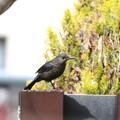 新たにやって来た色の黒いイソヒヨドリ♀(2)FK3A5100