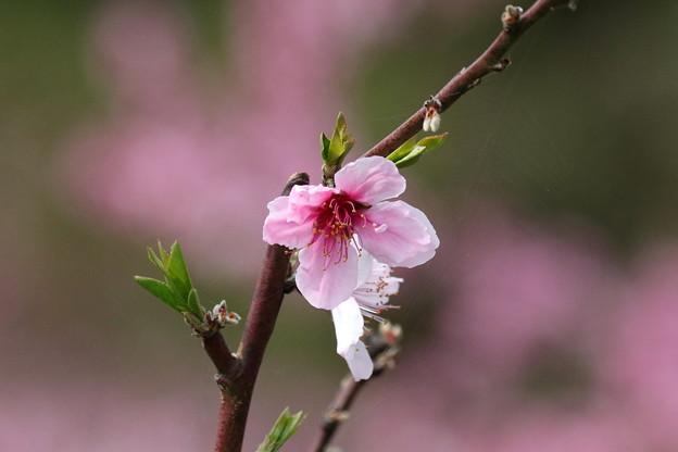 モモの花(1)FK3A6291