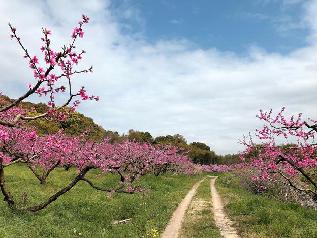 モモの果樹園(1)IMG_0586 by ふうさん