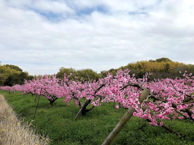 モモの果樹園(2)IMG_0579 by ふうさん