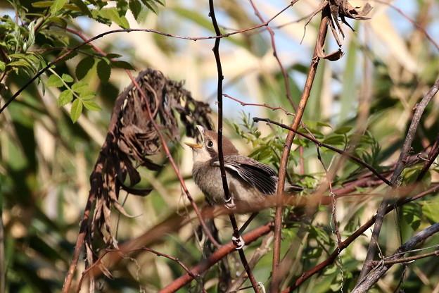 モズ幼鳥(1)FK3A6522
