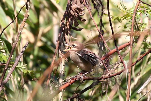 モズ幼鳥(2)FK3A6516