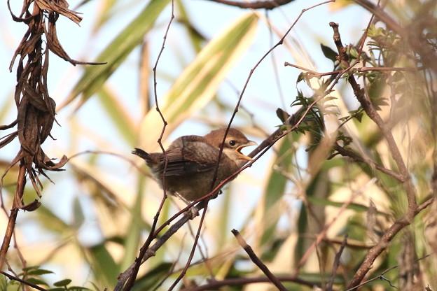 モズ幼鳥(3)FK3A6531