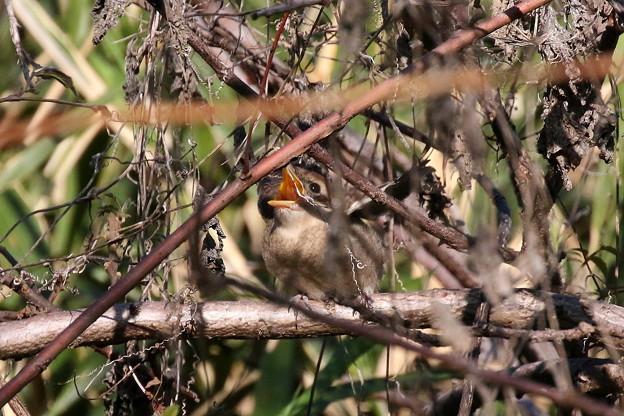 モズ幼鳥(4)FK3A6537