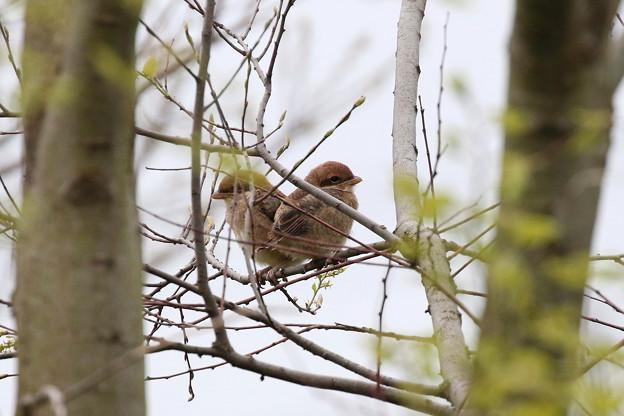 モズ幼鳥への給餌(1)FK3A6560