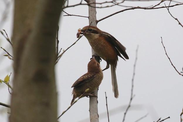 モズ幼鳥への給餌(3)FK3A6580