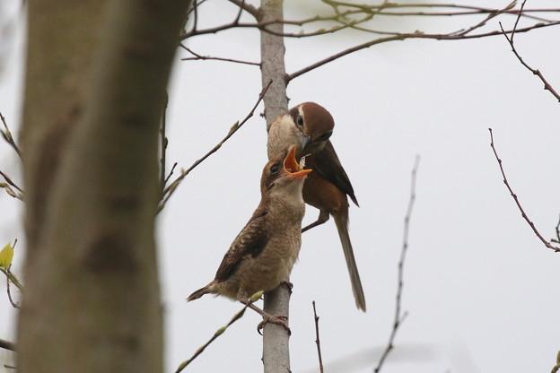 モズ幼鳥への給餌(4)FK3A6574