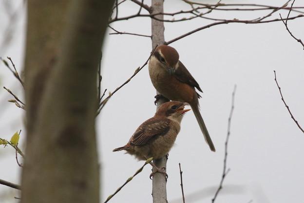 モズ幼鳥への給餌(6)FK3A6602