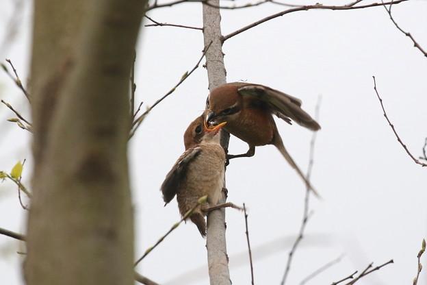 モズ幼鳥への給餌(5)FK3A6577
