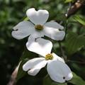 4月14日の花水木(一輪開花)FK3A7285