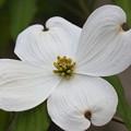 一輪だけ開花した花水木 FK3A7275
