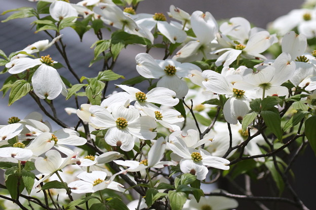 花水木 FK3A7282