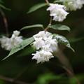 ウツギの花(1)FK3A9680