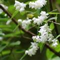 ウツギの花(2)FK3A9681