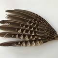 キジの羽根(初列風切)IMG_1320