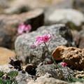高山植物の女王 コマクサ(1-2)FK3A1291