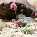高山植物の女王 コマクサ(2)FK3A1298