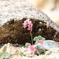 高山植物の女王 コマクサ(3)FK3A1302