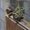 イソヒヨドリ幼鳥(1)FK3A1053