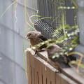 イソヒヨドリ幼鳥(2)FK3A1051