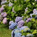 本紫陽花 FK3A0722