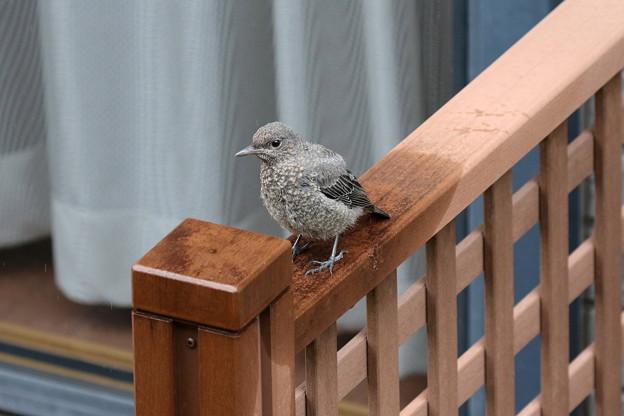 雨宿りするイソヒヨドリ幼鳥(4)FK3A1708