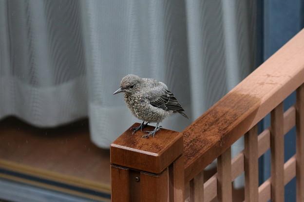雨宿りするイソヒヨドリ幼鳥(5)FK3A1714