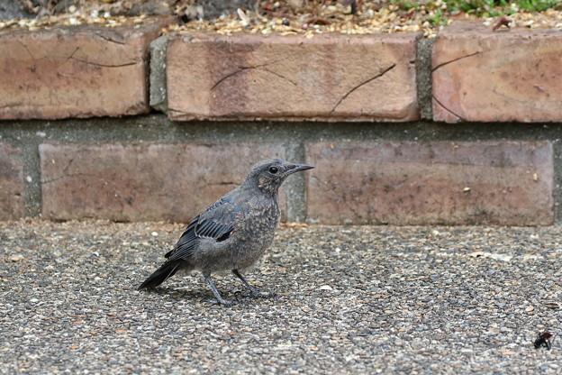 イソヒヨドリ幼鳥♂(1)FK3A1847