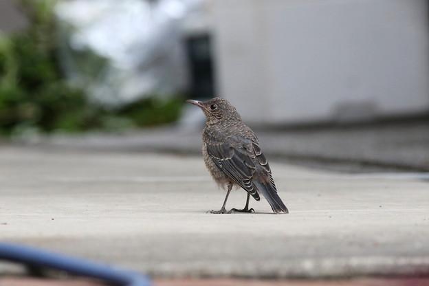 イソヒヨドリ幼鳥♀ FK3A1784