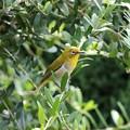 誘導するメジロの親鳥 FK3A2553