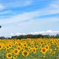 Photos: 公園のヒマワリ畑(3)IMG_1033