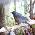 Photos: お庭のイソヒヨドリ♂(3)FK3A2911