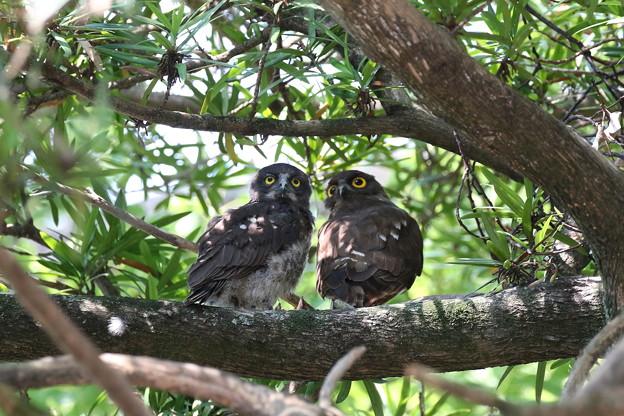 3.アオバズク幼鳥と親鳥 FK3A3316